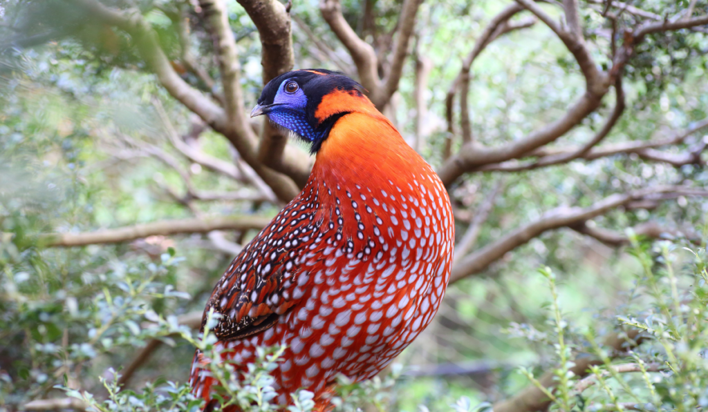 Temminck's Tragopans standing on a branch of tree.