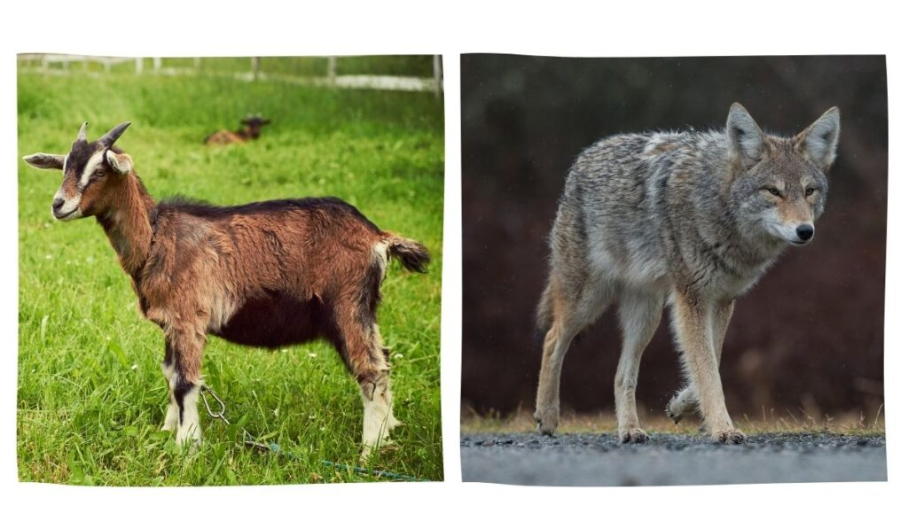 a goat and a coyote side by side