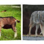Top 7 Ways to Protect Goats From Coyotes