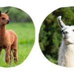 Llama vs Alpaca: How They Are the Same and Different