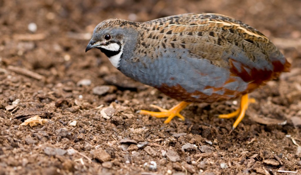 Button Quail looking for food on the ground.