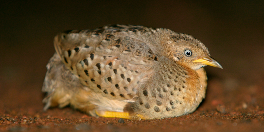 button quail laying on the ground