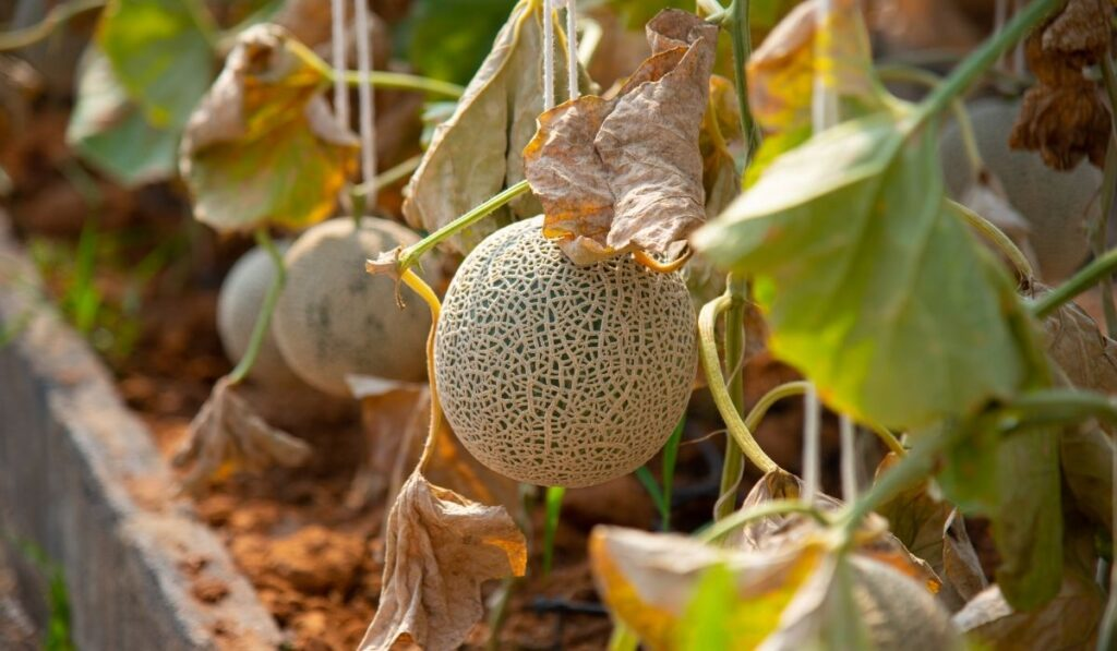 cantaloupe growing in the greenhouse