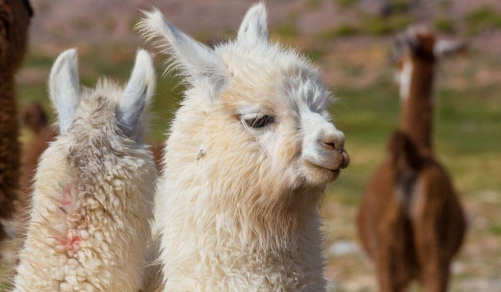 close up of white llama