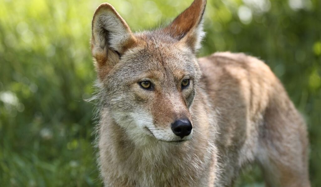 close up picture of a coyote