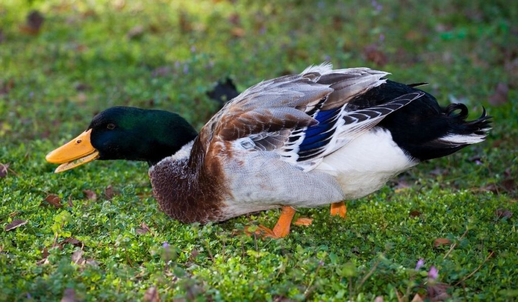 duck on the lawn
