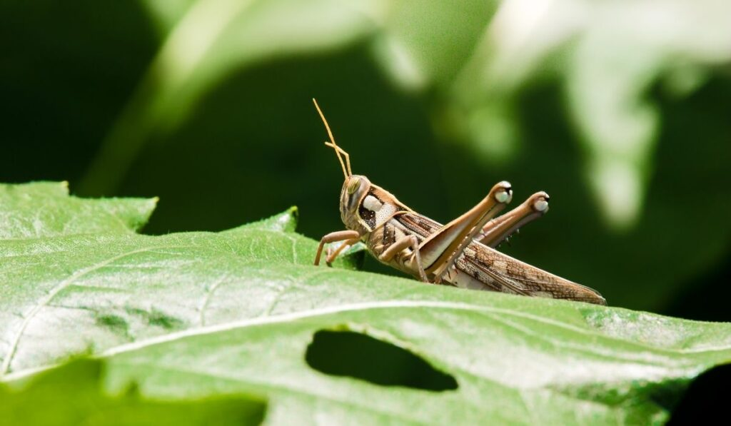 grasshopper on the leave