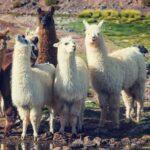 Are Llamas Friendly?