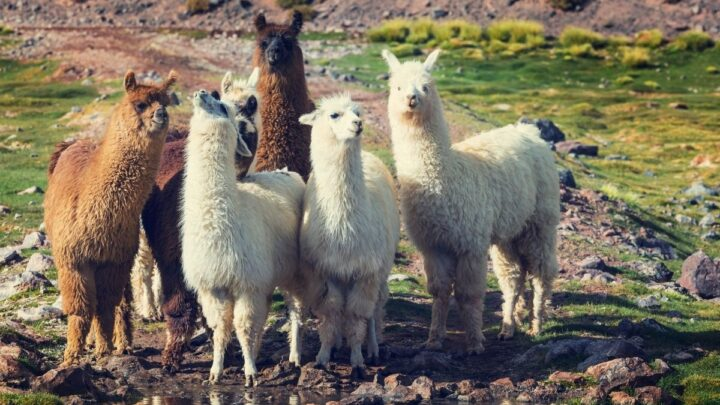 group of llamas in the field
