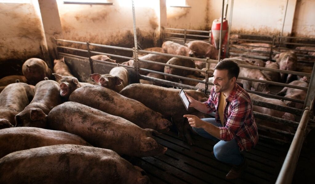 happy farmer taking care of pigs