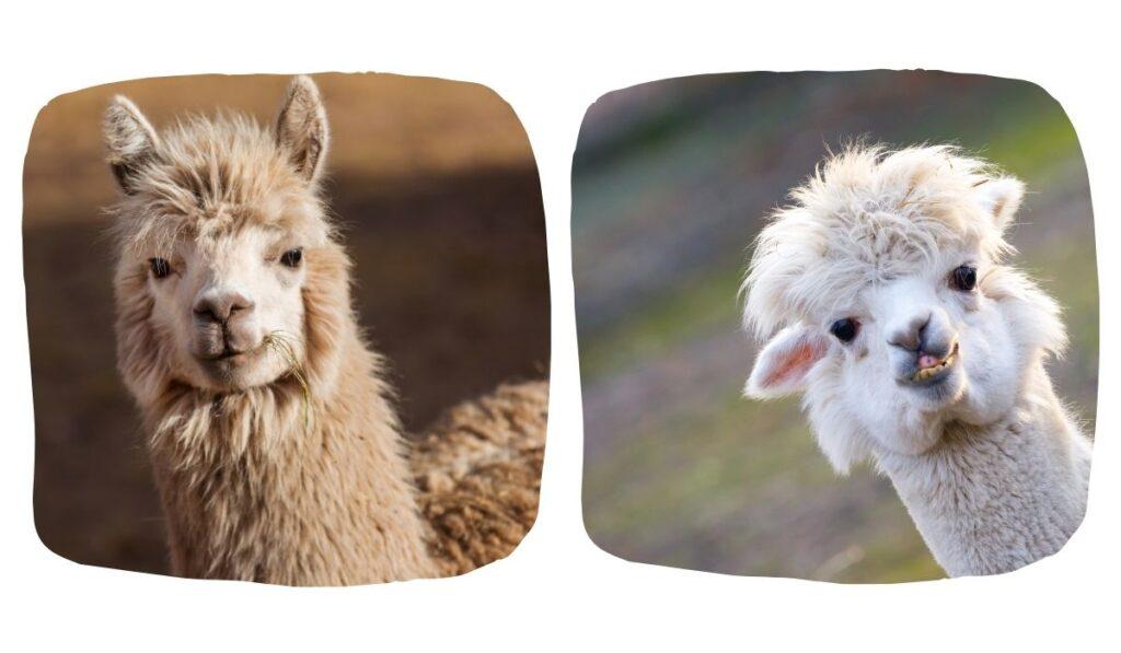 llama and alpaca side by side