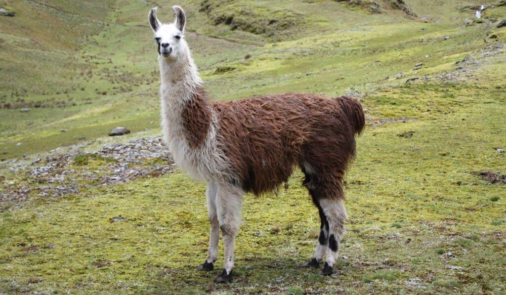 llama in the field