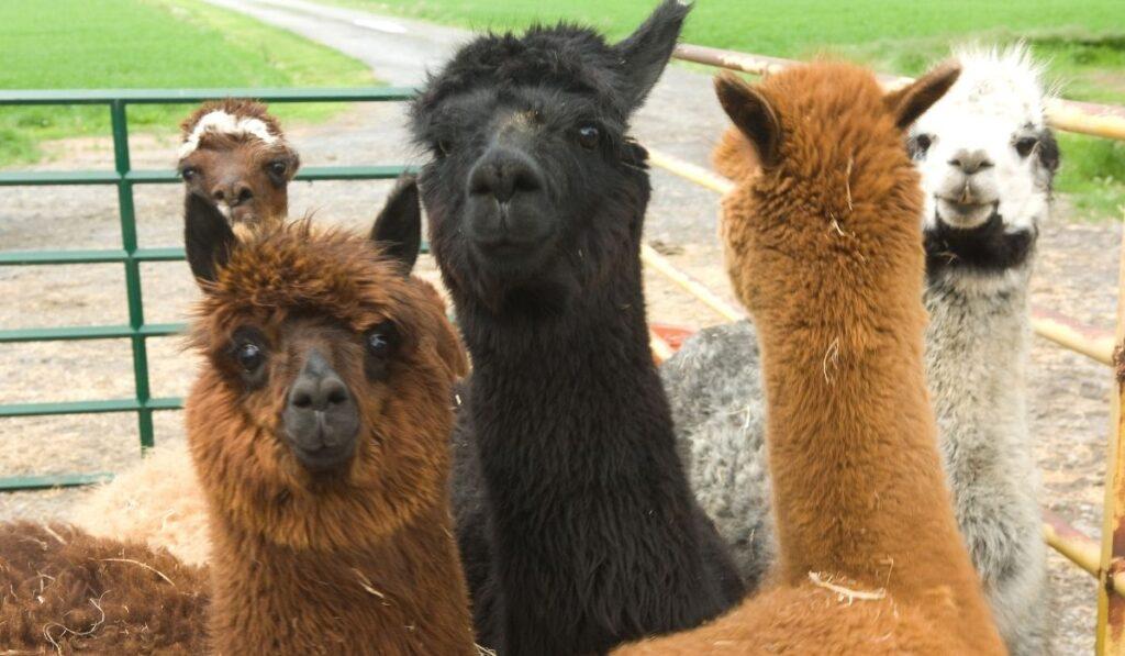 llamas in a truck