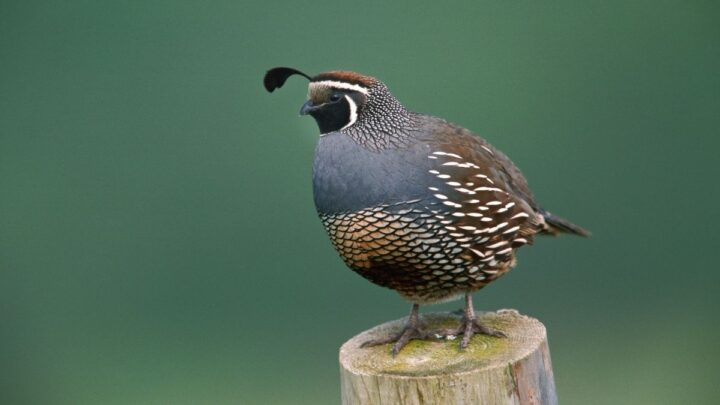 quail standing on a wood