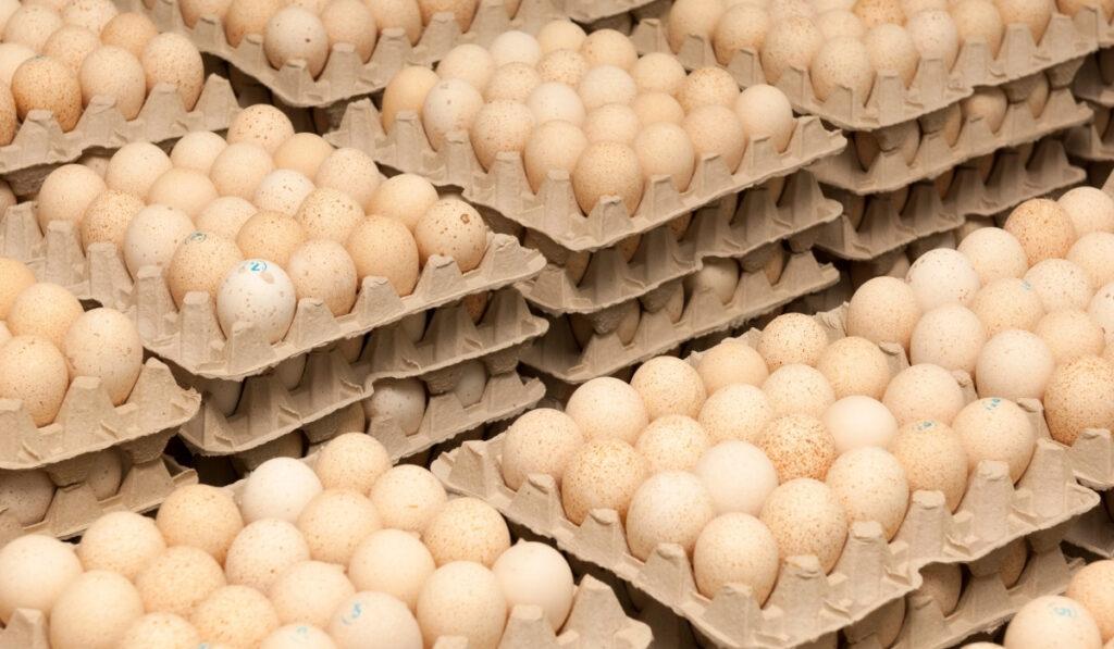 turkey eggs on trays