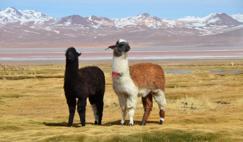 two llamas in the field