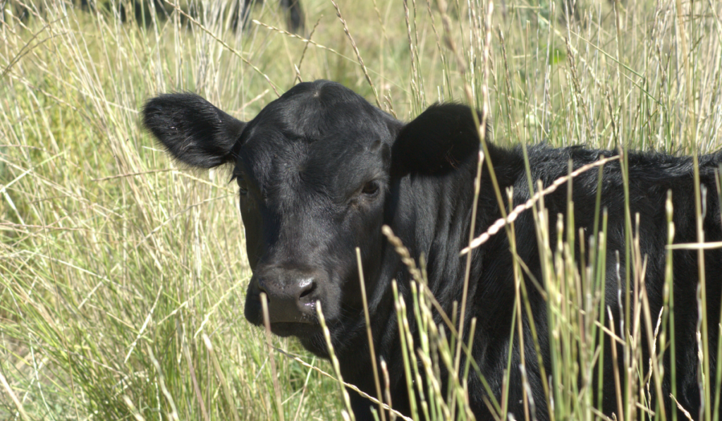 A black angus cow hiding in a the tall grass