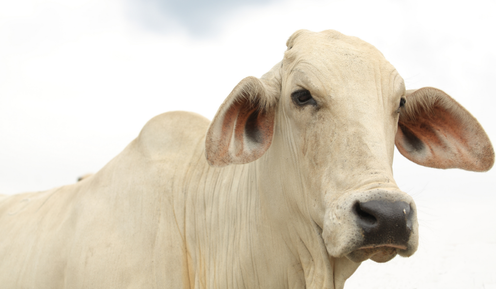 A close up picture of a white cow standing
