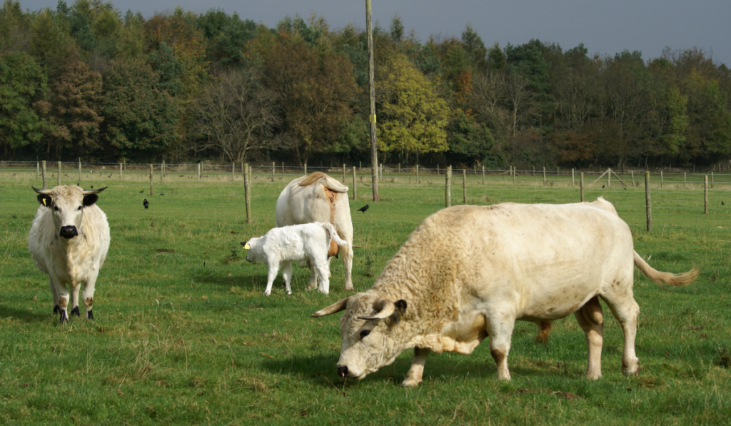 Group white cows standing in the field inside the pen