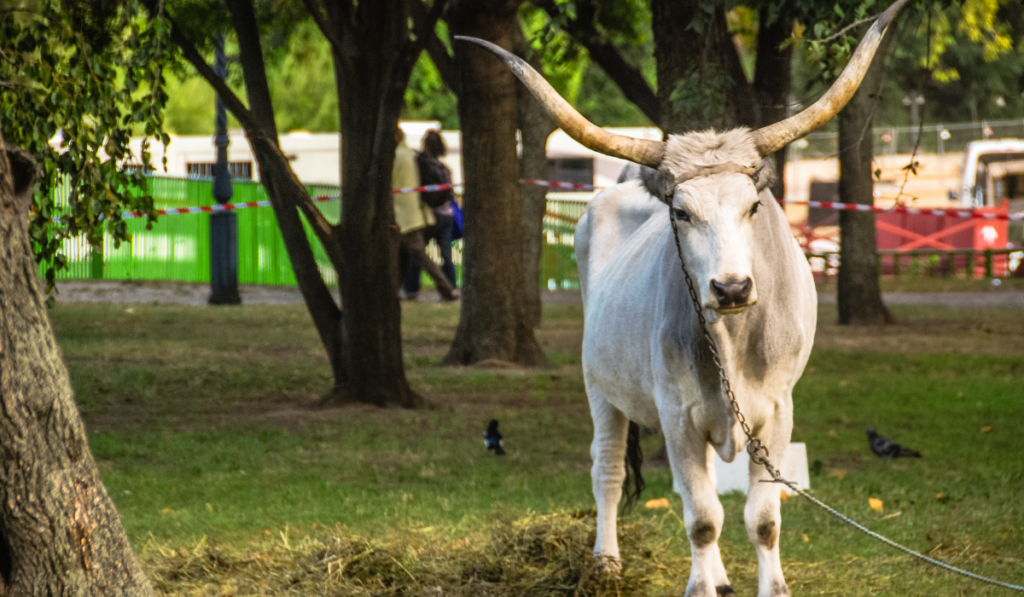 A white cow standing in the park while tied up in the tree