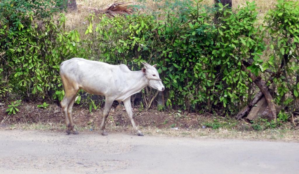 A white cow walking along the street