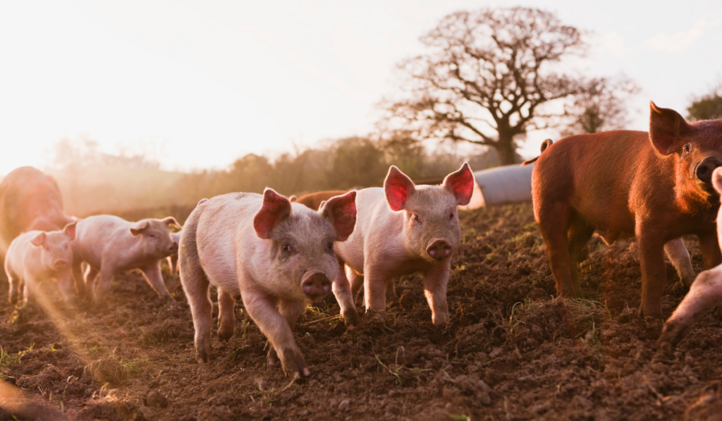 Group of pigs running early in the morning
