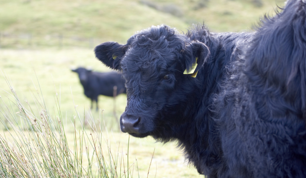 A black cow staring angrily in the camera