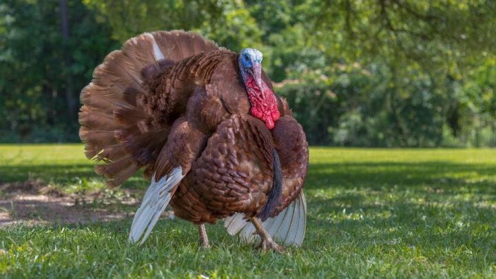 bourbon-red-turkey-standing-on-the-grass