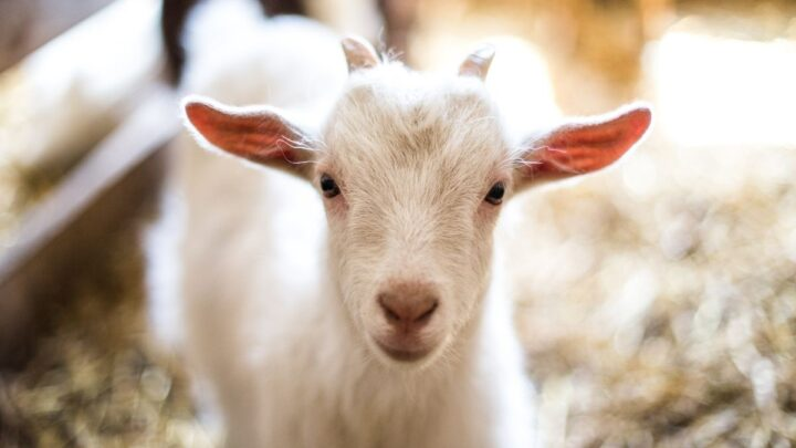 cute baby white goat looking straight to the camera