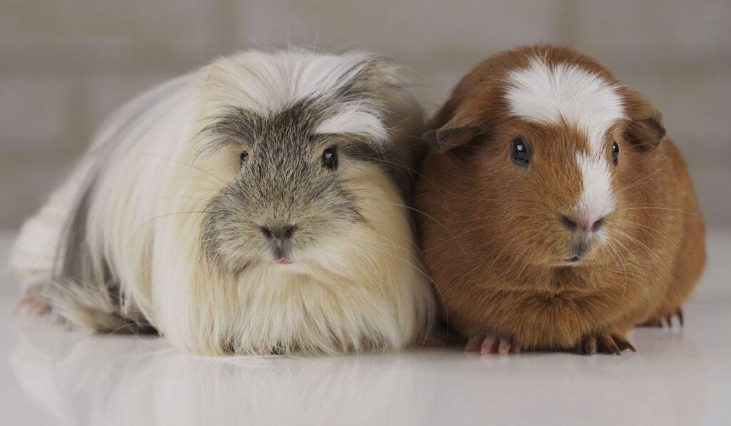 cute guinea pigs side by side