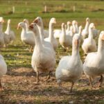 Ultimate Guide To Raising Geese