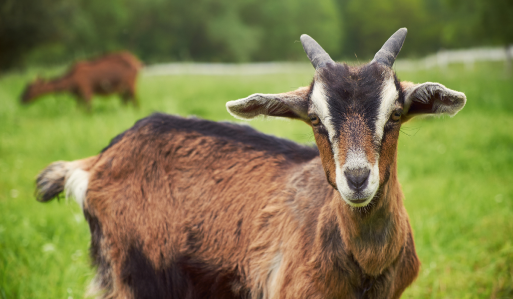 A brown goat looking at the camera in the field