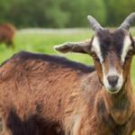 5 Farm Animals that Love to Eat Fermented Barley