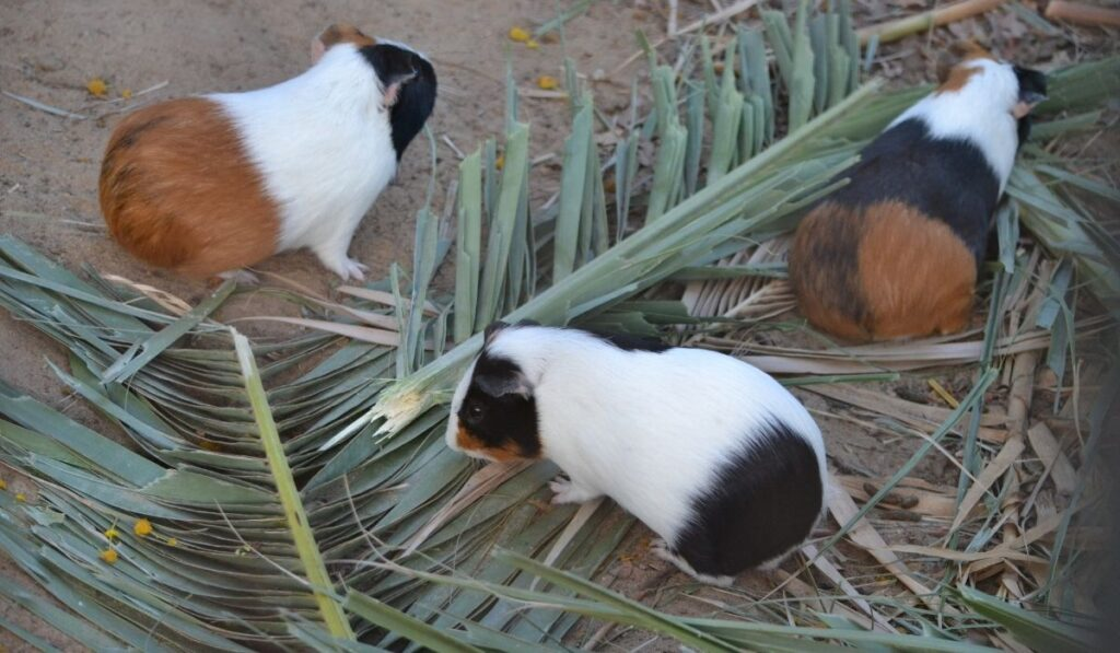 guinea pigs on coconut leaves