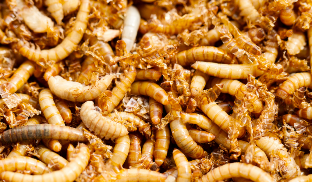 Closeup picture of mealworms.