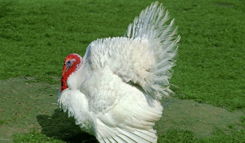 side-shot-of-Beltsville-White-Turkey-walking-on-the-grass