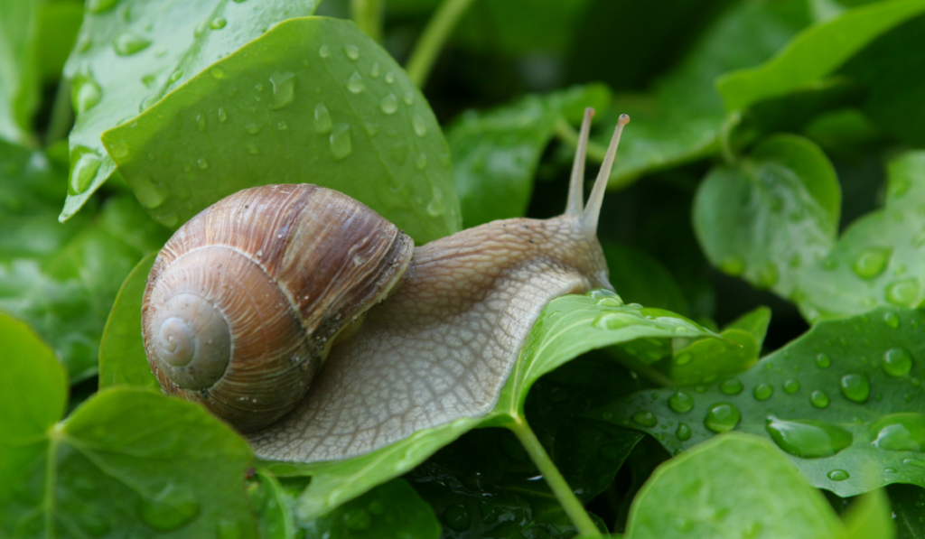 Snail crawling on the leaf in a rainy day