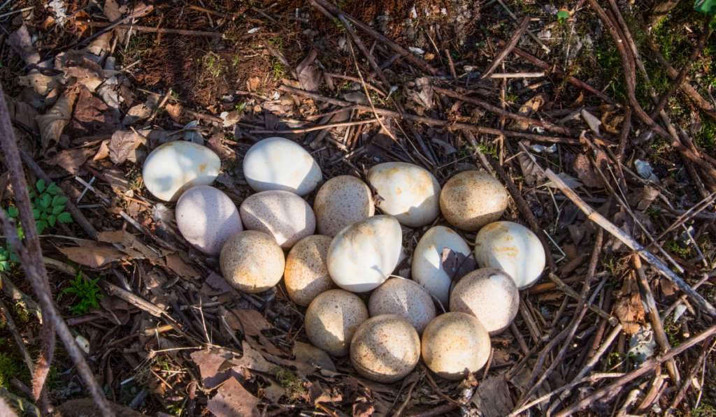 Turkey eggs on the ground.