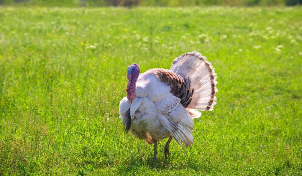 turkey-walking-on-the-grass