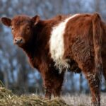 9 Brown and White Cow Breeds