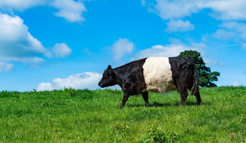 Belted Galloway on a bright sunny day
