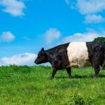 7 Black and White Cow Breeds