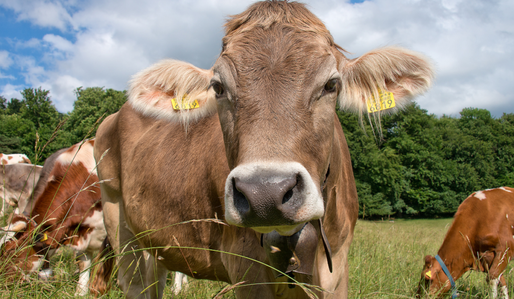 A closeup up picture of the cow in the field