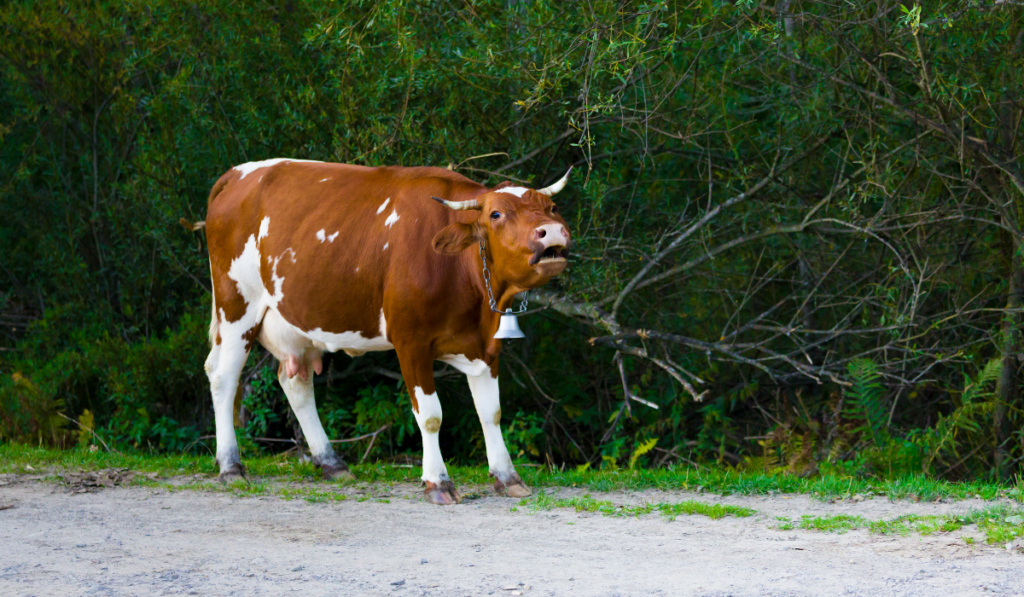 A brown cow walking along the road