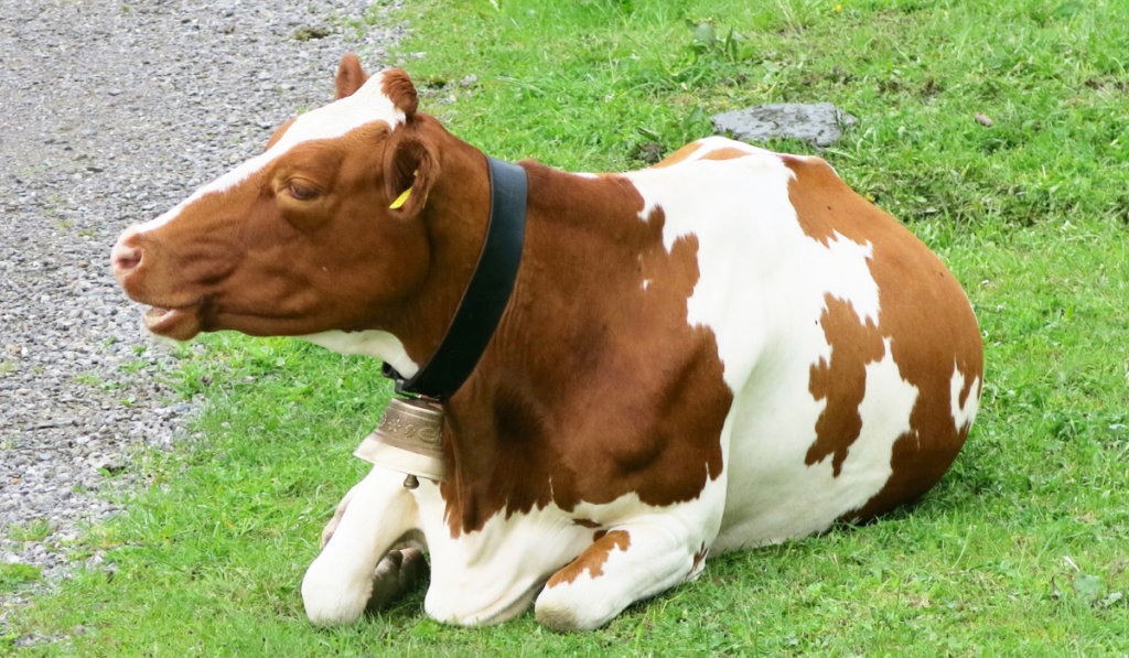 A brown with white spots cow sitting on the grass