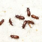 3 Types of Flour Beetles and How to Get Rid of Them