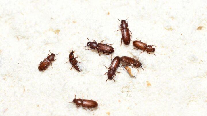 Confused Flour Beetle (Tribolium confusum)