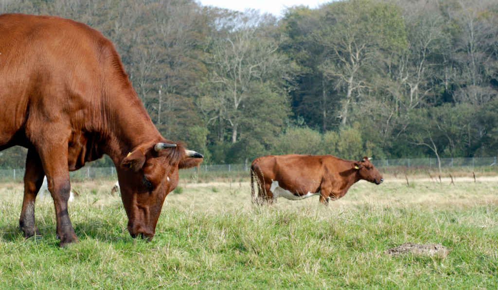 Two red cows eating grass in the field