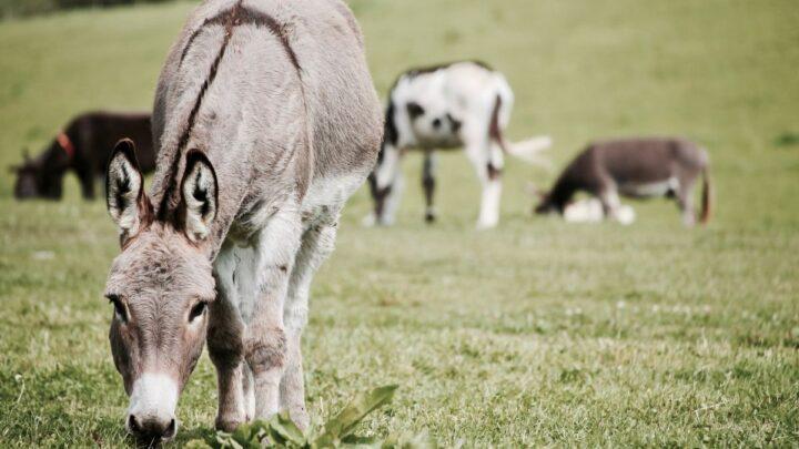 Donkeys on Grass Field