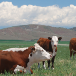 7 Red and White Cow Breeds